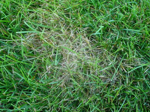 sod web worm damage